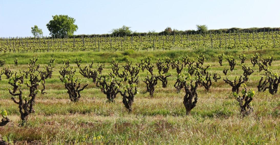 celler credo old Macabeu vineyards