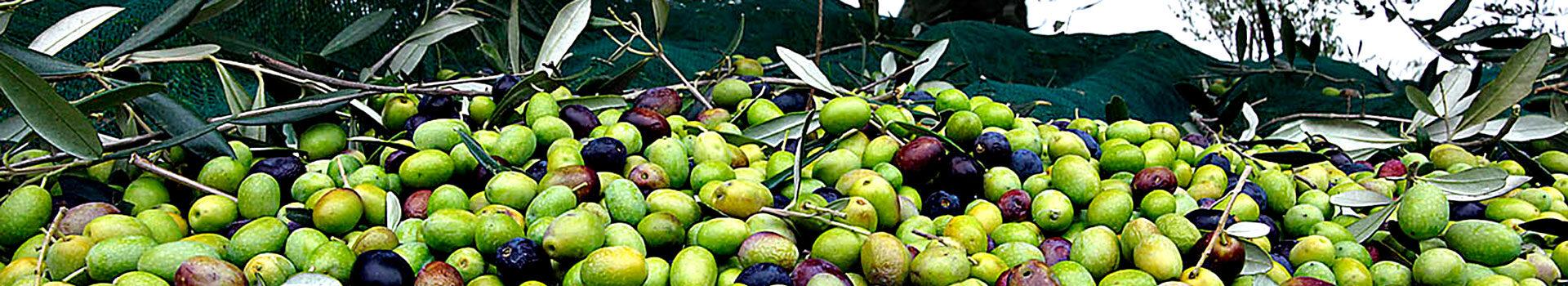 olive corzanopaterno