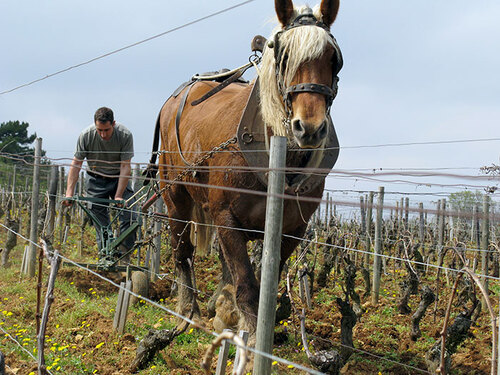 soufrandiere plows with horse in vineyard