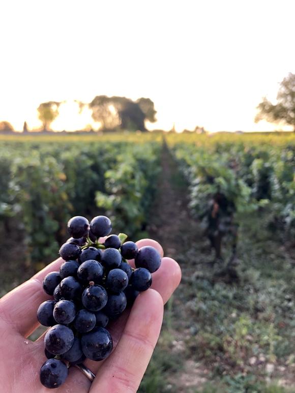 Beautiful little Pinot Noir grape